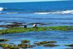 Mencari rumput laut (JIBI/Harian Jogja/David Kurniawan)