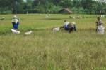 Sejumlah petani di Desa Sengon, Kecamatan Prambanan memanen padi miliknya lebih dini karena terancam serangan hama wereng, Selasa (10/3/2015). Serangan hama itu terjadi sejak sepekan lalu. (Ayu Abriyani K.P/JIBI/Solopos)