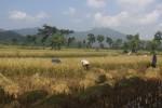Petani di Dusun Krisak Kulon, Desa Singodutan, Selogiri memanen padi, Minggu (29/3/2015). Panen padi secara bersamaan di Soloraya membuat petani kesulitan menjual gabah. (Muhammad Ismail/JIBI/Solopos)