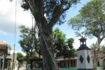 Pohon tua di Klaten ditebang lantaran mengancam permukiman warga (Ayu Abriyani K.P/JIBI/Solopos)
