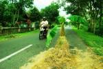 Warga melintas di Jalan Manthous yang ditanami pohon pisang oleh warga. selain sebagai bentuk protes, tanaman itu juga digunakan sebagai rambu- rambu peringatan. Jumat (6/3/2015) (JIBI/Harian Jogja/dok. Warga Jatisari)