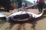 Ikan pari seberat hampir satu ton yang berhasil ditangkap nelayan Pantai Baron, Senin (30/3/2015). (JIBI/Harian Jogja/dok. SAR Satlinmas Wilayah II Gunungkidul)