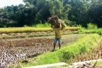 Pertanian Gunungkidul (JIBI/Harian Jogja/David Kurniawan)