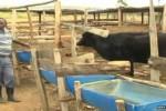 Peternak Kenya ketakutan lihat sapinya makan domba (emirates247.com)