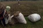 Petani di Desa Trasan memanen padi, Senin (13/4/2015). Sebanyak 70 persen lahan pertanian padi di desa ini gagal panen akibat diserang hama wereng. (Muhamad Muchlis/JIBI/Solopos)