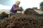 Pengumpul rumput laut di Pamekasan. (JIBI/Solopos/Antara/Saiful Bahri)