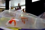 Ratusan ikan Koi dipajang dalam kantong plastik saat dinilai oleh dewan juru dalam lomba ikan Koi di atrium The Park, Solo Baru, Sabtu (4/4/2015). Pameran dan lomba ikan Koi tersebut diikuti oleh kolektor ikan Koi se Indonesia. (Sunaryo HB/JIBI/Solopos)