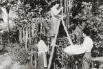 Seorang wanita memanen pohon spaghetti dalam tayangan program berita BBC (Mirror.co.uk)