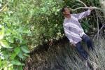 Warsono di lahan mangrove yang dia kelola. (JIBI/Harian Jogja/Arief Junianto)