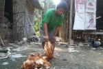 Salah satu warga menunjukkan ayam petelur yang mati akibat terkena newcastle disease (ND) atau tetelo, Selasa (31/3/2015). (Harian Jogja/Switzy Sabandar)