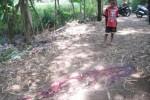 Seorang anak, Adit, mengamati darah di jalan tanah menuju sungai di Dukuh Jogopaten RT 001/RW 008, Desa Gentan, Sukoharjo, Kamis (2/4/2015). (Rudi Hartono/JIBI/Solopos)