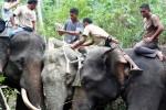 Penyelamatan gajah liar yang terjerat di Aceh, Senin (20/4/2015). (JIBI/Solopos/Antara/Syifa)