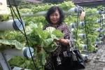 Kuspilah, 55, warga Cokrodiningratan sedang melihat-lihat sayuran tanaman hidroponik di Markas Kodim Jogja, Minggu (26/4/2015). (Ujang Hasanudin/JIBI/Harian Jogja)