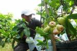Bayu Ari Purnomo Sidi, pemilik perkebunan Kebun Hijau menunjukkan jambu deli hijau jenis jambu air dari Medan, belum lama ini. (Harian Jogja/Abdul Hamied Razak)