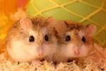 Hamsters (Thepetlook.com.sg)