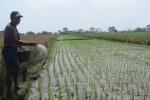 Seorang petani asal Juwiring menaburkan pupuk ke tanaman padinya di areal sawahnya, Senin (11/5/2015). Selama memasuki MT II, sejumlah petani di Klaten mengaku kesulitan memperoleh pupuk bersubsidi. (Ponco Suseno/JIBI/Solopos)