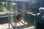 Yuni Suryani menunjukkan lokasi pembobolan kandang peternakan Burung Perkutut milik orangtuanya di Sendangtirto, Berbah, Sleman, Senin (18/5/2015). (JIBI/Harian Jogja/Sunartono)