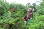 Petani cabai rawit hijau di Dukuh Manggung, Desa Sukorejo, Kecamatan Musuk, Boyolali memanen tanaman cabai rawit hijau, Minggu (3/5/2015). (Kharisma Dhita Retnosari/JIBI/Solopos)
