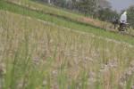 Tanah lahan pesawahan yang berada di kawasan Kadisono, Kecamatan Pajangan mulai mengering, Selasa (26/5/2015). (JIBI/Harian Jogja/Arief Junianto)