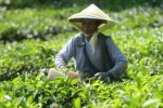 Pemetik daun teh di Jamus, Ngawi, Sabtu (30/5/2015). (JIBI/Solopos/Antara/Ari Bowo Sucipto)