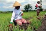 Seorang petani dari Desa Demangrejo, Sentolo terpaksa memanen bawang merah yang baru berusia 50 hari untuk mengantisipasi rusak karena dimakan ulat, Kamis (4/6/2015). (JIBI/Harian Jogja/Holy Kartika N.S.)
