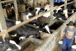 PETERNAKAN JATIM : Produksi Susu di Jatim Stagnan Terdampak Kemarau 2015