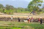 PERTANIAN BANTUL : Program Corporate Farming Banyak Berikan Keuntungan, Berikut Daftarnya