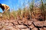 Ilustrasi tanaman padi puso akibat kekeringan. (JIBI/Solopos/Antara/Aditya Pradana Putra)