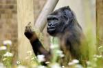 KISAH UNIK : Usai Difoto, Gorila Ini Acungkan jari Tengah