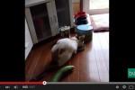 Kucing takut lihat mentimun.(Istimewa/Youtube)