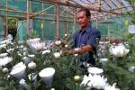 Seorang petani bunga krisan sedang melakukan pengecekan bunga-bunga yang dibudidayakan di sebuah tempat penyemaian yang dikembangkan Paguyuban Seruni Menoreh Dusun Karang, Desa Gerbosari, Samigaluh, Rabu (5/8/2015). (JIBI/Harian Jogja/Holy Kartika N.S.)