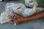 Bentuk fosil rahang kuda nil yang ditemukan warga di Pegunungan Tugel, Bonagung, Tanon, Sragen. (Moh. Khodiq Duhri/JIBI/Solopos)
