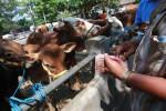 Perdagangan Hewan Kurban (JIBI/Harian Jogja/Desi Suryanto)