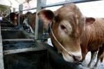 Pengobatan sapi bakal hewan kurban Iduladha 2015 di Desa Gampengrejo, Kediri, Selasa (15/9/2015). (JIBI/Solopos/Antara/Prasetia Fauzani)