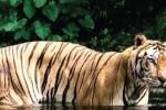 Ilustrasi harimau sumatra (Taman Safari Indonesia)