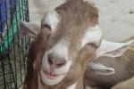 Hewan Ternak di Kulonprogo Diserang Anjing Liar