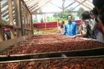 PERTANIAN GUNUNGKIDUL : Kelompok Petani Punya Hari Kakao
