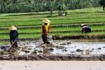 Dua petani di Desa Gejahan, Kecamatan Ponjong sedang mencangkul sawah dalam upaya penyuburan tanah. Foto diambil, Selasa (1/9/2015). (JIBI/Harian Jogja/David Kurniawan)