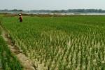 Petani menggarap lahan di waduk Cengklik yang surut karena musim kemarau. (Muhammad Ismail/JIBI/Solopos)