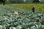 Petani kembang kol di Desa Kuwaron, Teras, Boyolali memanen tanaman lebih awal akibat serangan hama ulat, Jumat (30/10/2015). (Muhammad Ismail/JIBI/Solopos)