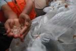 PENYELUNDUPAN DI BANDARA ADISUTJIPTO : Lobster akan Dilepas di Gunungkidul