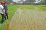 Air di sawah milik petani Desa Kuwiran, Banyudono berwarna kuning. Diduga hal itu karena pabrik tekstil langsung membuang limbah ke sawah petani. (Hijriyah Al Wakhidah/JIBI/Solopos)