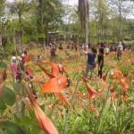 Kondisi taman bunga Amaryllis di Dusun Ngasemayu, Salam, Patuk Gunungkidul milik Sukadi pada Minggu (29/11/2015). (Istimewa)
