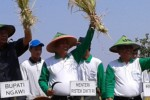PERTANIAN NGAWI : Menristekdikti Yakin Petani Ngawi Bisa Gemukkan Sapi 600 Kg Asal Lakukan Ini!