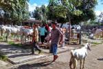 IDULADHA 2017 : Kulonprogo Punya 2.684 Sapi Siap Sembelih, Harga Naik 15%