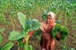 Petani memetik daun tembakau bagian atas yang tersisa di Karangawen, Kabupaten Demak, Jawa Tengah, Selasa (1/12/2015). (JIBI/Antara Foto/Aditya Pradana Putra).