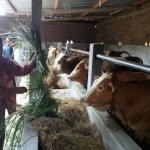 PETERNAKAN SAPI BOYOLALI : Desa Kenteng Jadi Percontohan Pembibitan Sapi Potong