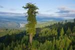 Pohon tertinggi di dunia (odditycentral.com)