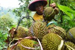 Panen durian petani Desa Padas, Dagangan, Kabupaten Madiun, Senin (4/1/2015). (JIBI/Solopos/Antara/Siswowidodo)