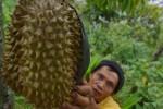 Petani memperlihatkan buah durian montong di kebun, Desa Padas, Dagangan, Kabupaten Madiun, Senin (4/1/2015). (JIBI/Solopos/Antara/Foto/Siswowidodo)